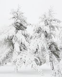Winter pine tree Royalty Free Stock Photography