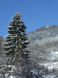 Winter pine tree Stock Photography