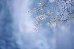 Winter pine tree branches covered with snow. Frozen tree branch in winter forest. Stock Photos