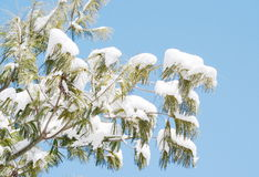 Winter pine tree Royalty Free Stock Photo
