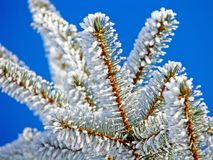 Winter pine tree is covered with hoarfrost  Stock Photo