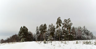 Winter pine tree forest. Winter pine forest. Forest reserve in Mordovia Stock Image