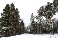 Winter pine tree forest. Winter pine forest. Forest reserve in Mordovia Royalty Free Stock Images