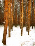 A winter pine tree forest Stock Photos