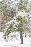 Winter pine tree in forest Stock Photography