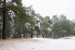 Winter pine tree forest. Pine tree forest on winter day Royalty Free Stock Photo