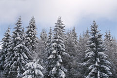 Winter pine tree forest edge. Winter pine tree forest edge covered in snow with blue sky Stock Photos