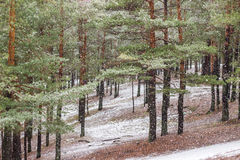 Winter pine tree forest. Snow in pine tree forest on winter day Royalty Free Stock Images