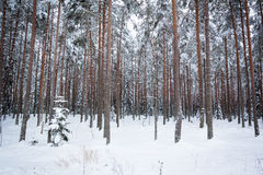 Winter pine tree forest Stock Photos