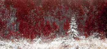Winter Pine Tree and Red Autumn Leaves Stock Photos