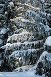 Winter pine trees Stock Image