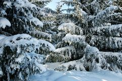 Winter pine trees Stock Photos