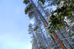 Winter pine trees Royalty Free Stock Image