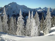 Winter Pine Trees. Amazing view of pine trees during the winter royalty free stock images