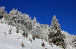 Winter pine trees Stock Photography