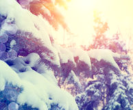 Winter pine trees in mountains Stock Images