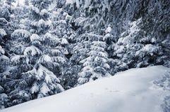Winter pine trees Stock Photo