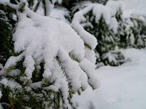Winter pine trees and new snow Royalty Free Stock Image