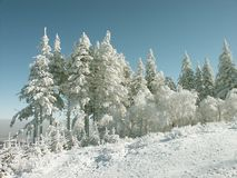 Winter pine trees scenery in mountains Stock Image