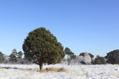 Winter pine wood Royalty Free Stock Photo