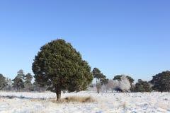 Winter pine wood Royalty Free Stock Photo