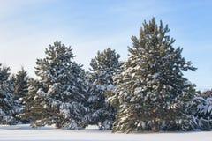 Free Winter Pines Stock Photo - 15520660
