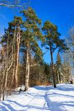 Winter Pines Stock Photography