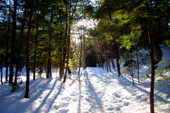 Winter Pines stock image