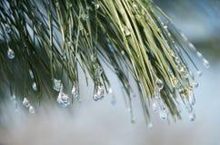 Free Winter Pines Stock Photos - 5208903