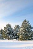 Winter Pines Stock Photos