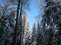 Winter pines against blue sky Stock Photography