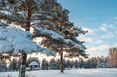 Winter pines in evergreen forest Royalty Free Stock Photo