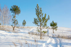 Winter pines Royalty Free Stock Photo