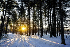 Winter Pines Sunrise Stock Photography
