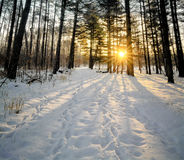 Winter Pines Sunrise Royalty Free Stock Photography