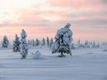 Winter pinetree Royalty Free Stock Images