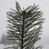 Winter pinetree sapling. Young pinetree sapling in the winter Stock Photography