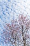 Winter pink cherry blossom Sakura flower foliage against sky b Stock Image