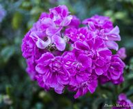Winter Pink and Purple Royalty Free Stock Photography