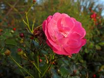 A winter pink rose between the thorns royalty free stock image