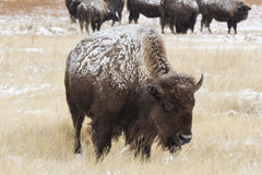 Winter on the plains. Buffalo in the fresh snow of the prairie Royalty Free Stock Photos