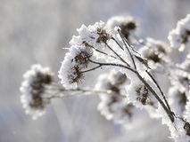 Winter plant Royalty Free Stock Photo