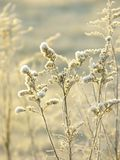 Winter plant with morning frost at sunrise Royalty Free Stock Image