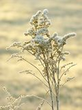 Winter plant with morning frost at sunrise Stock Photo