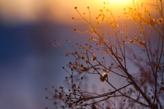 Winter Plant Silhouette at sunset Stock Image