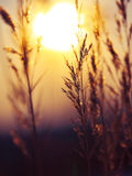 Winter Plant Silhouette at sunset Royalty Free Stock Photos