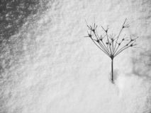 Winter plants. Dried wild plant in the snow stock photo