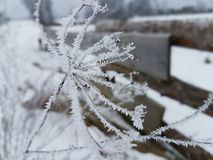 Winter plants. Small plant frozen in the village in winter Stock Images