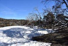 Winter Plants On Snowy Mountain, Australia. Australian gum tree in the snow. The surrounding snow is melting stock photo