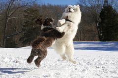 Winter Play Fighting Dogs. Two dogs enjoying play fighting outdoors in a snow covered field on a winter day Stock Image